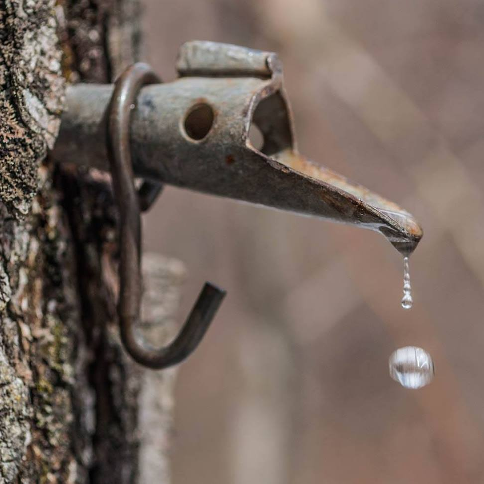 A tapped sugar maple tree with sap dripping into a metal bucket.