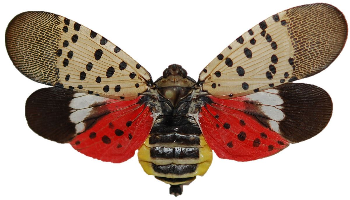 An adult specimen of the Spotted Lanternfly